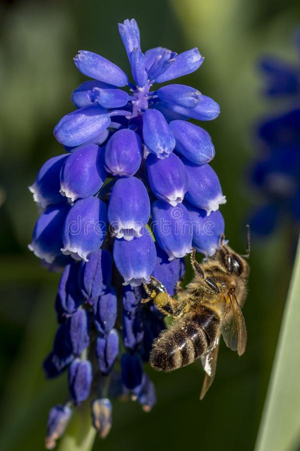 Bee an a purple flower royalty free stock photos