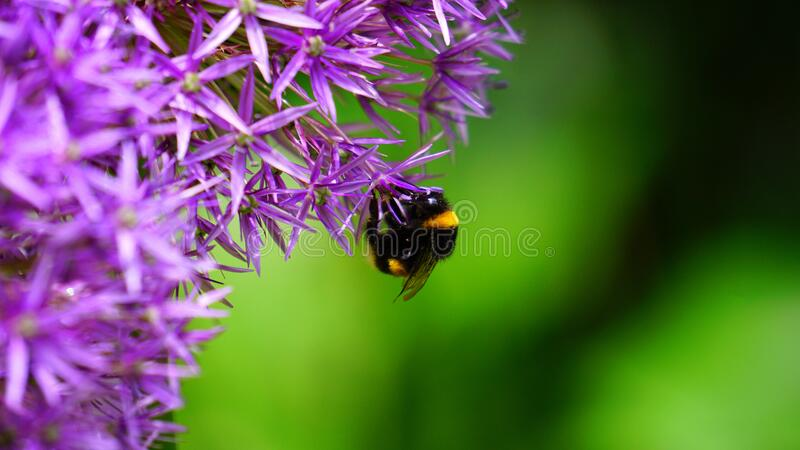Bee on purple flower royalty free stock photography