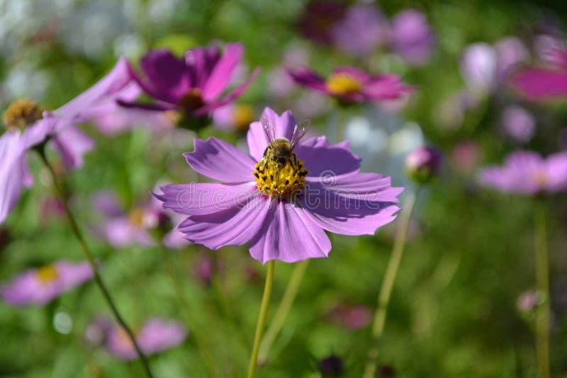 Bee On Purple Flower Free Public Domain Cc0 Image