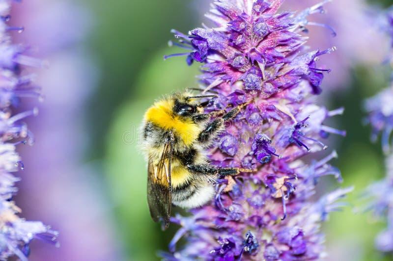 Bee on purple flower in garden in summer stock image