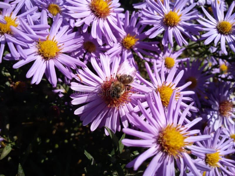 Bee on purple flower royalty free stock photos