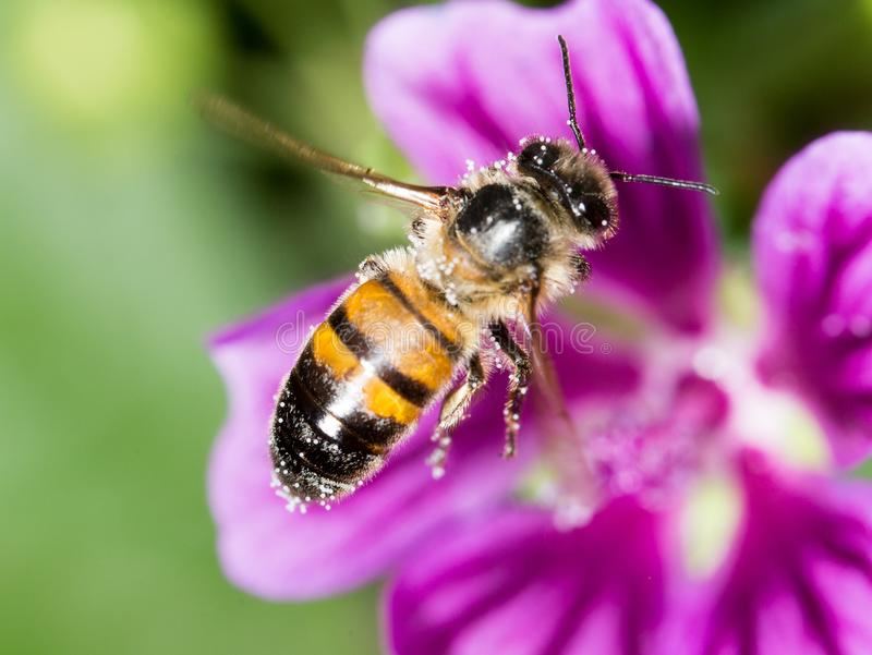 Bee on a purple flower. macro stock photo