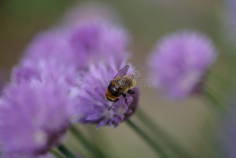 Bee on a purple flower macro. Single insect on a light purple chive plant flower in herb garden with selective focus royalty free stock photography