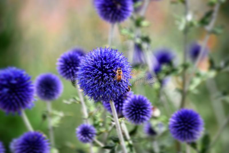 Bee on purple flower. Bee on a purple round flower with other flowers blurred in background of a field royalty free stock photo
