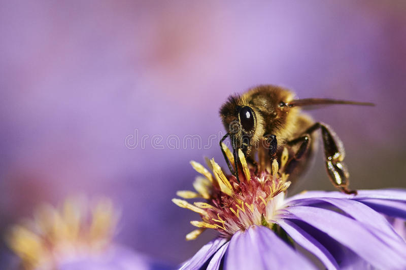 Bee on a purple flower. A standard bee-macro sitting on a purple flower. The creamy purple background gives it a dreamy look royalty free stock images