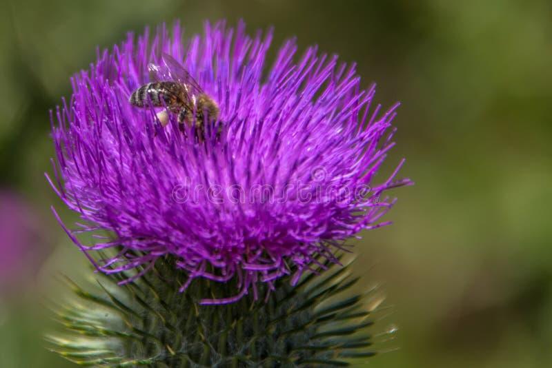 Bee on a purple flower stock image