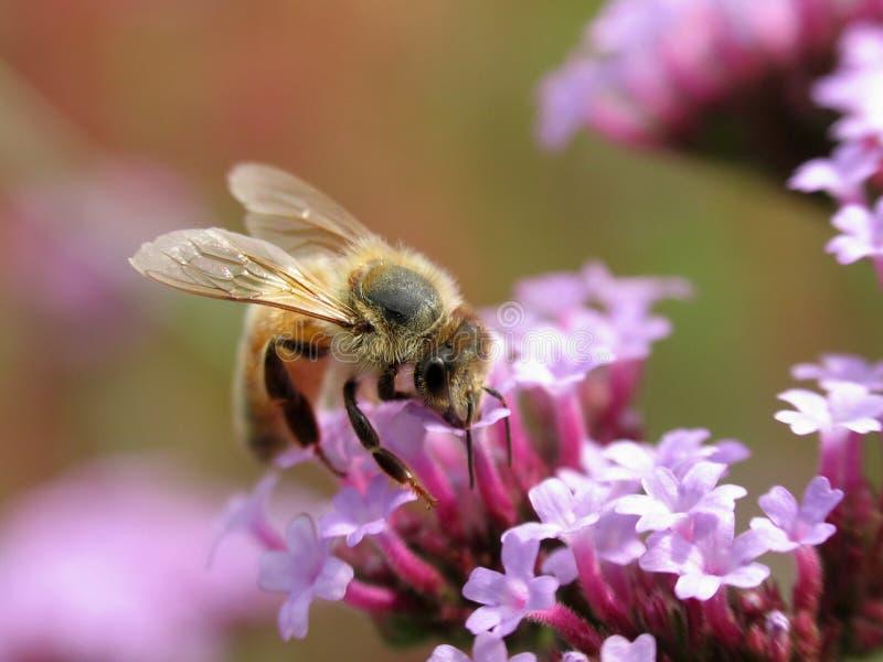 Bee_on_Purple_Flowers stock photography