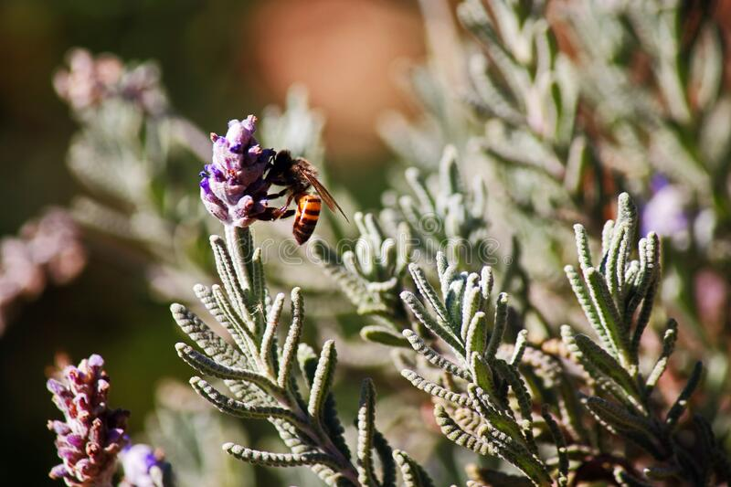 BEE ON PURPLE LAVENDER FLOWER STALK. View of a honey bee gathering pollen from a purple lavender flower in a garden stock images
