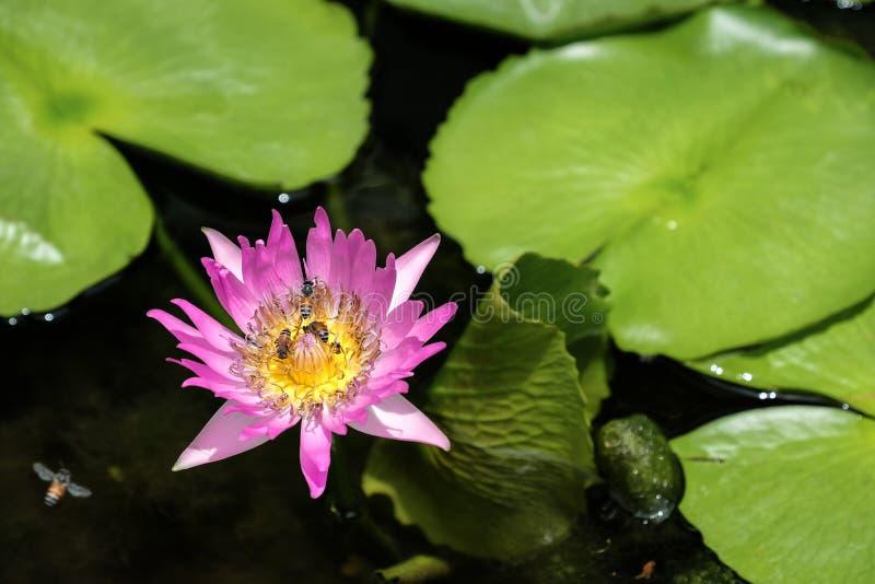 Bee in the purple lotus stock photo
