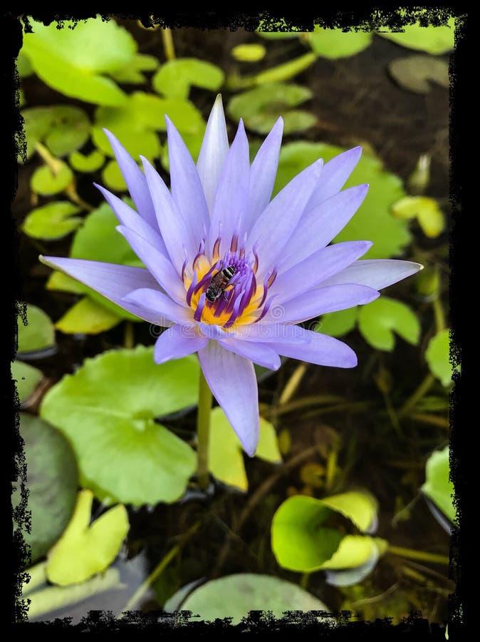 Bee on Purple lotus flower closeup stock photos