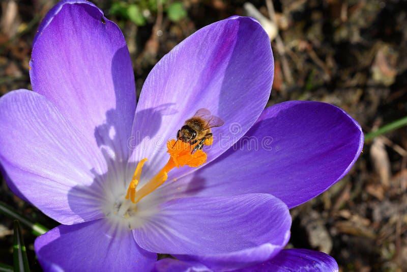 Bee on Purple Petaled Flower stock photography