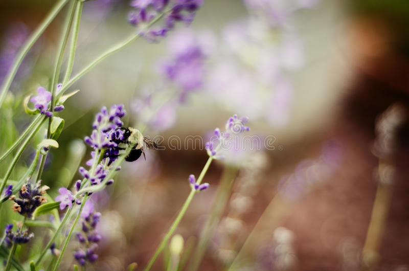 Bee on purple wildflower. In field royalty free stock photography