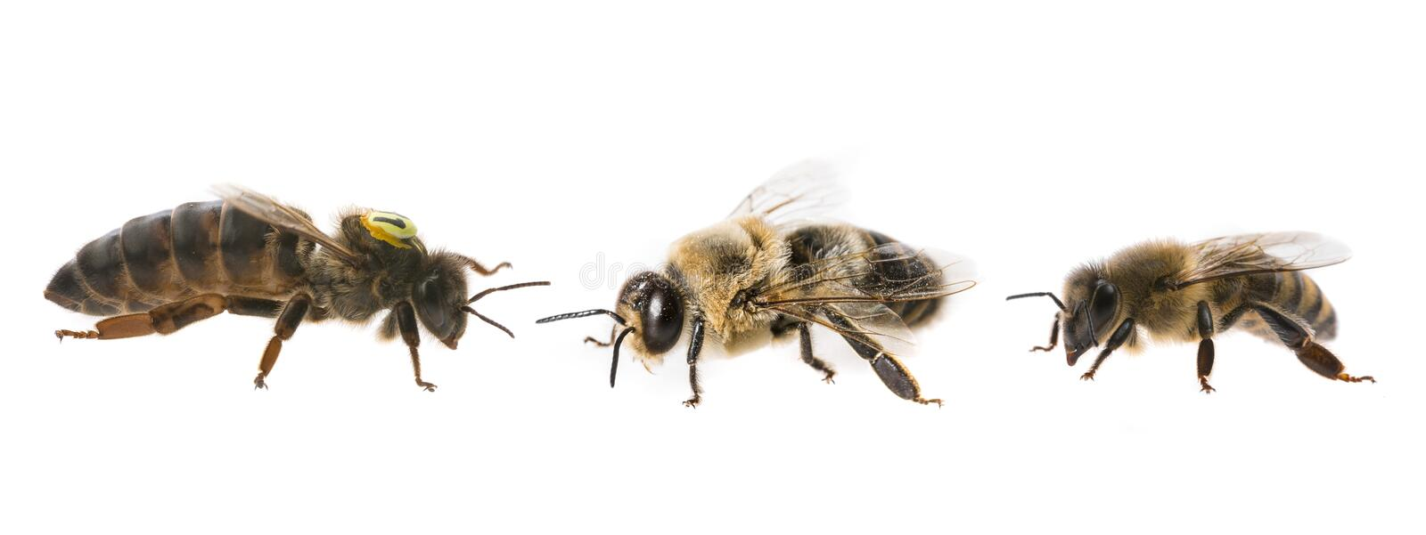 Bee queen mother and drone and bee worker - three types of bee royalty free stock images