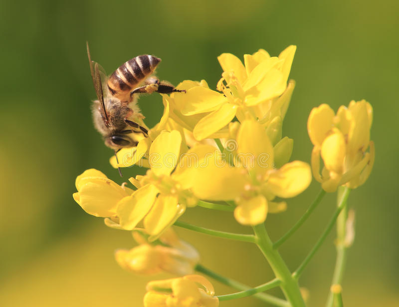 Bee on the rapeseed flower. Rapeseed flower and bee in sunshine royalty free stock photography