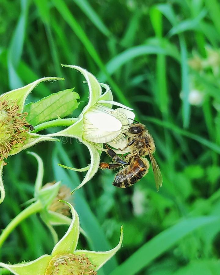Bee on raspberry flower royalty free stock photos
