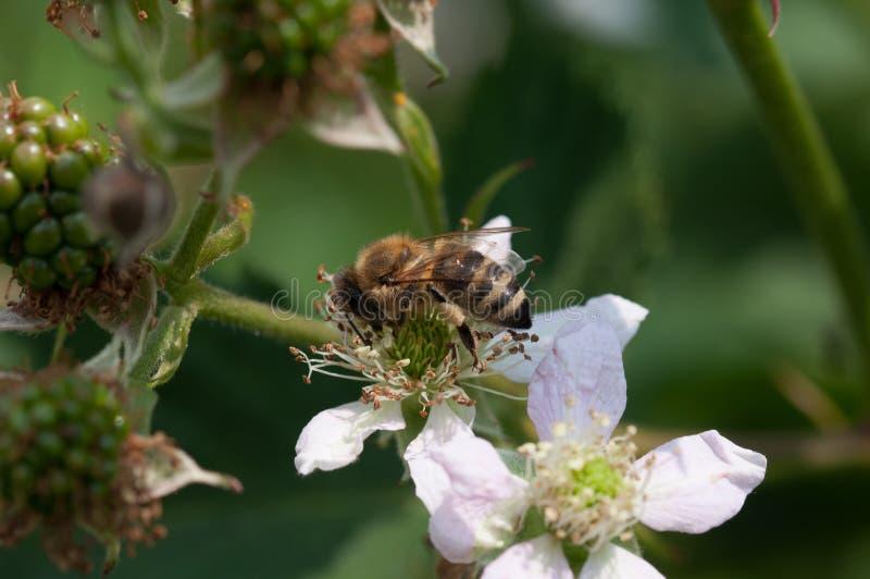 Bee on raspberry plant royalty free stock photos