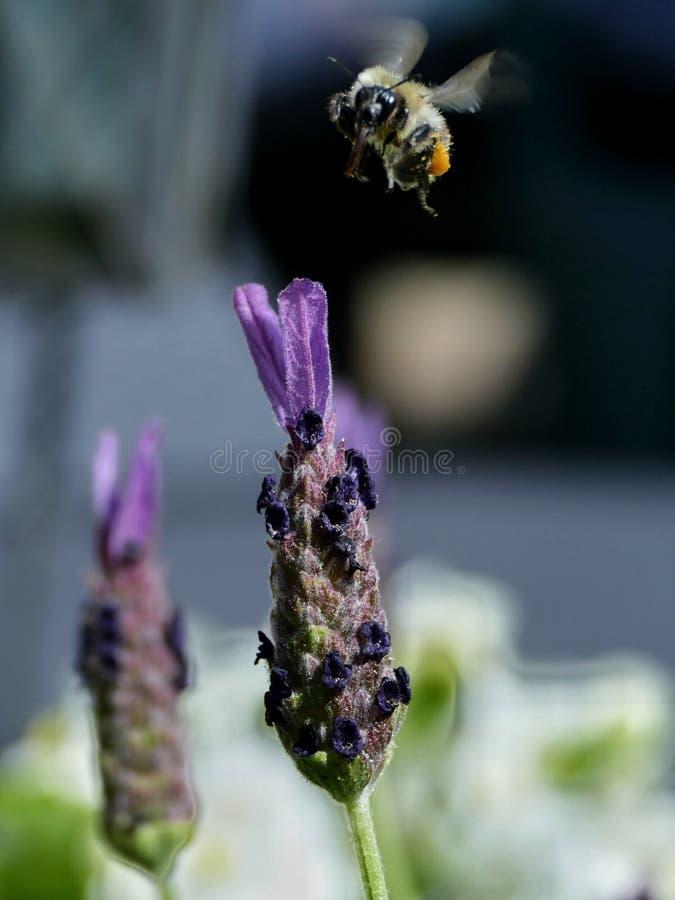Bee landing on lavender royalty free stock image