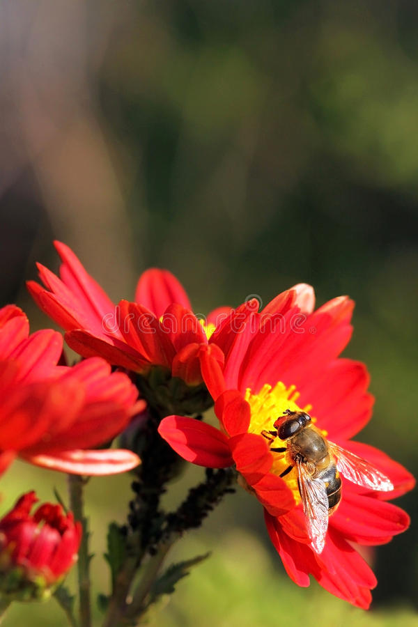 Bee on a red flower. Closeup, blurred green background stock image