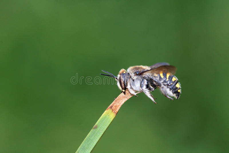 Download Bee Stock Images - Image: 32803234