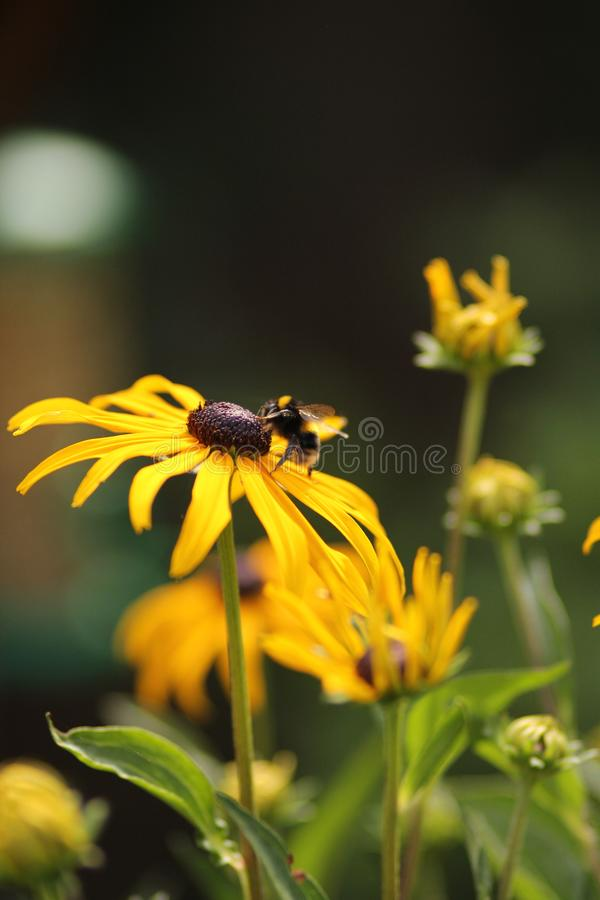 Bee resting on Rudbeckia cone flower outdoors royalty free stock photo