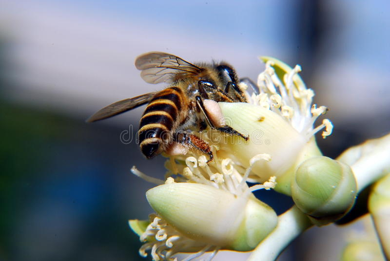 BEE role in pollination. Bees are flying insects closely known for their role in pollination and, in the case of the best-known bee species, the European honey stock images