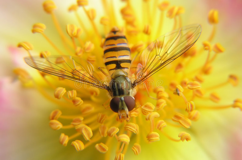 Download Bee on a rose stock photo. Image of petal, wings, meadow - 160218