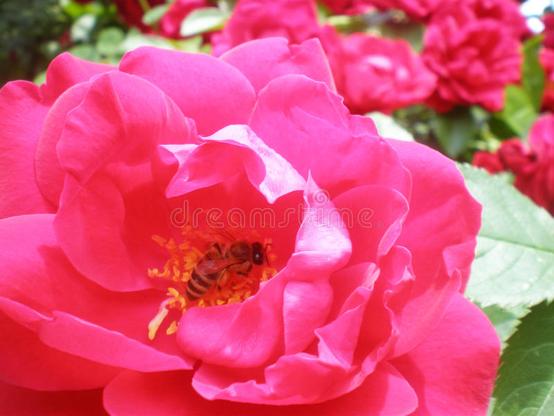 Bee and Rose stock image