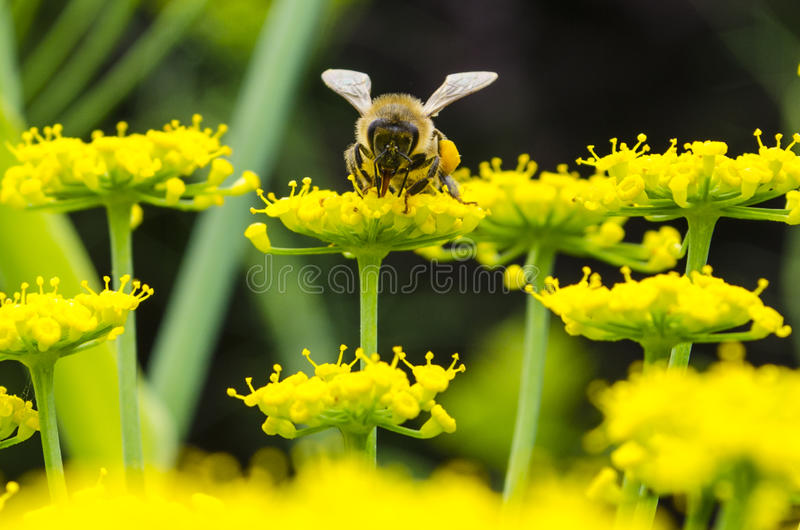 Bee on sea yellow flowers royalty free stock images