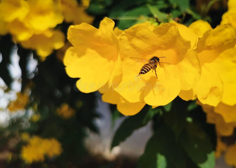 A bee is search for their food. Flowers stock photos