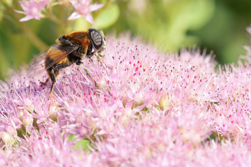 Download Bee Royalty Free Stock Photos - Image: 33447488