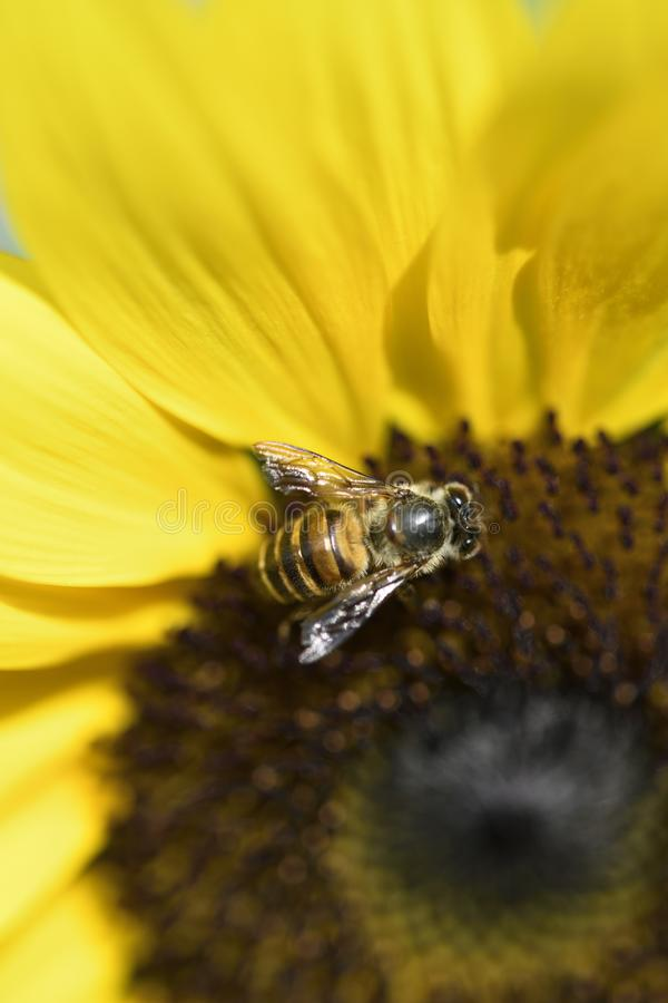 Bee close up sucking honey off a Sunflower. This Bee seems to have found the right spot to suck some honey of the Sunflower stock photo