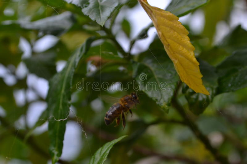 A bee shot just taking to the air royalty free stock photography