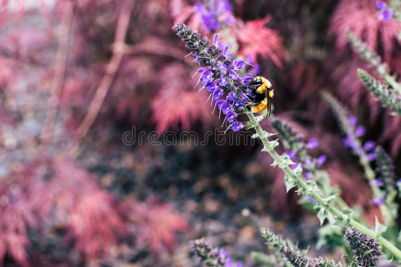 Bee Sipping Nectars on Flower stock image