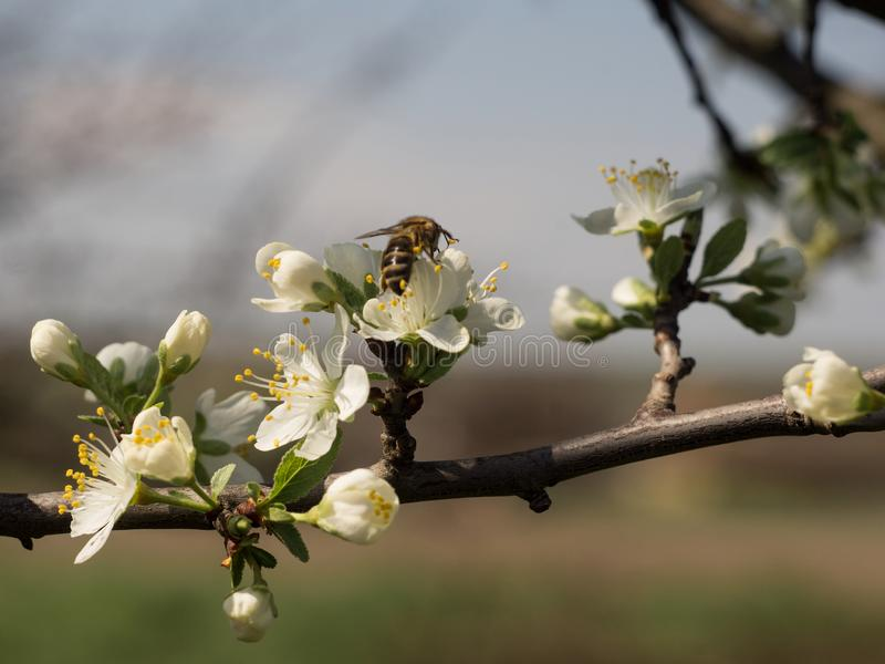 A bee sits on a branch of a blossoming apple tree.  royalty free stock photos