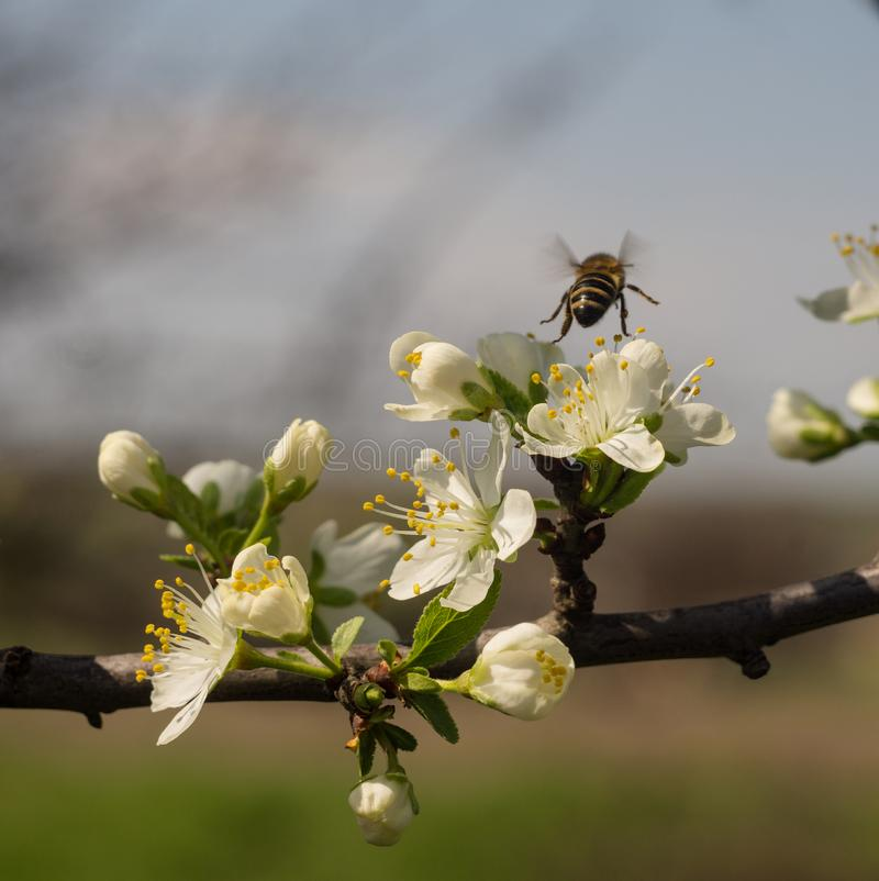 A bee sits on the flower of an apple tree to collect honey.  stock photos