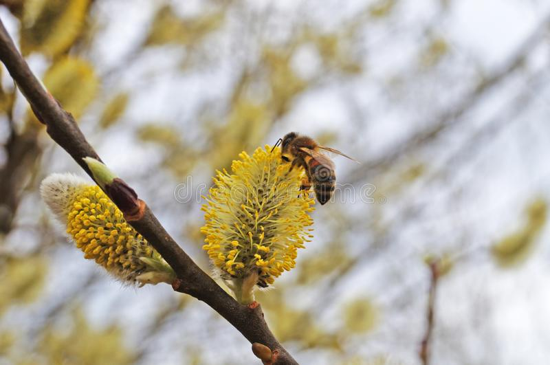 A bee sits on a flowering willow branch with white fluffy flowers and yellow pollen stock photo