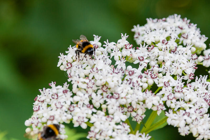 The bee sits on white flowers stock image