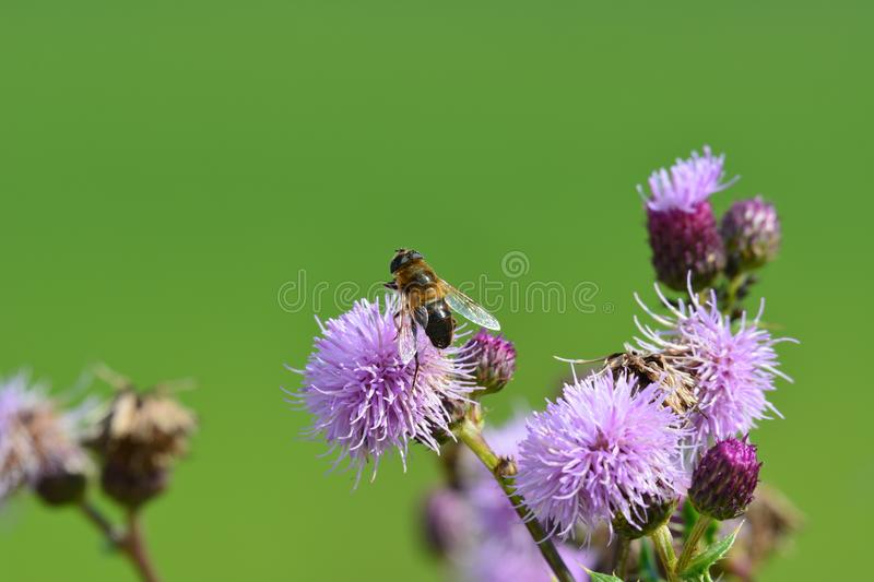 A bee on a flower. A bee sitting on a flower stock images