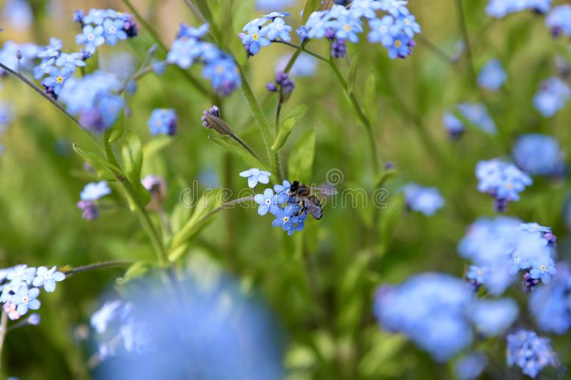 Bee sitting on a forget-me-not- flower. Bee sitting on a forget-me-not flower on a beautiful field or glade. beautiful landscapes plants stock images