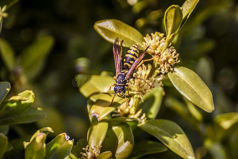 A bee sitting on a hedge flower. royalty free stock photography