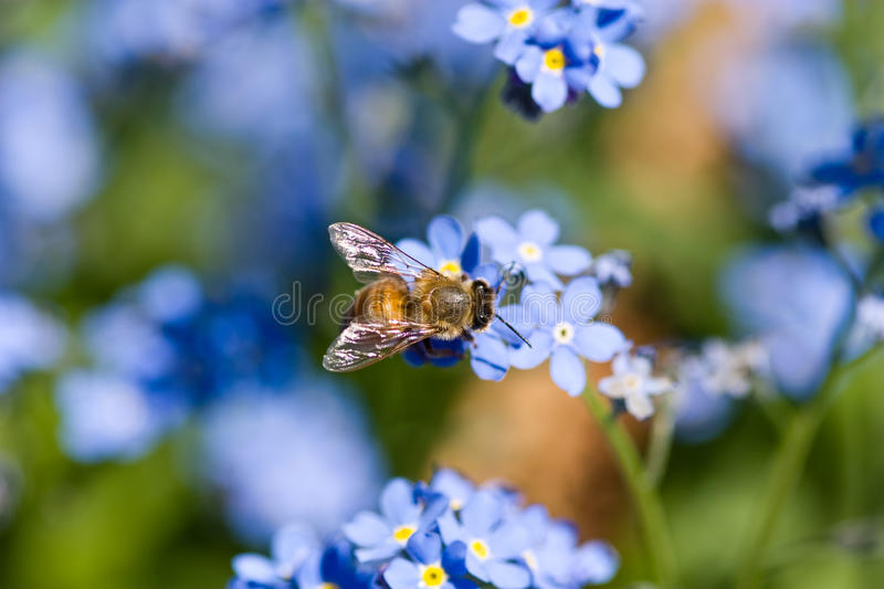 Bee sitting on top of a blue flower stock photos