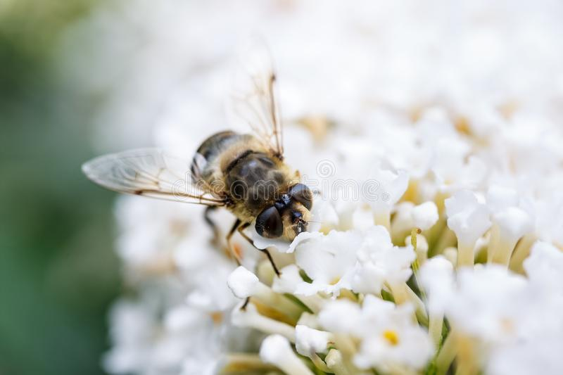 A bee sitting on top of white flowers royalty free stock images