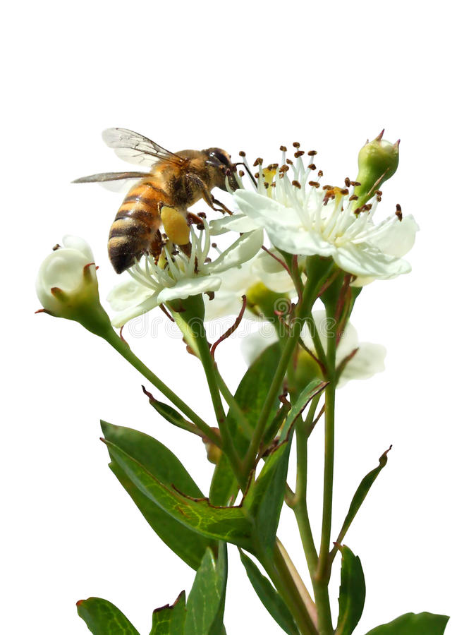 Bee sitting on a white flower isolated on white royalty free stock photos