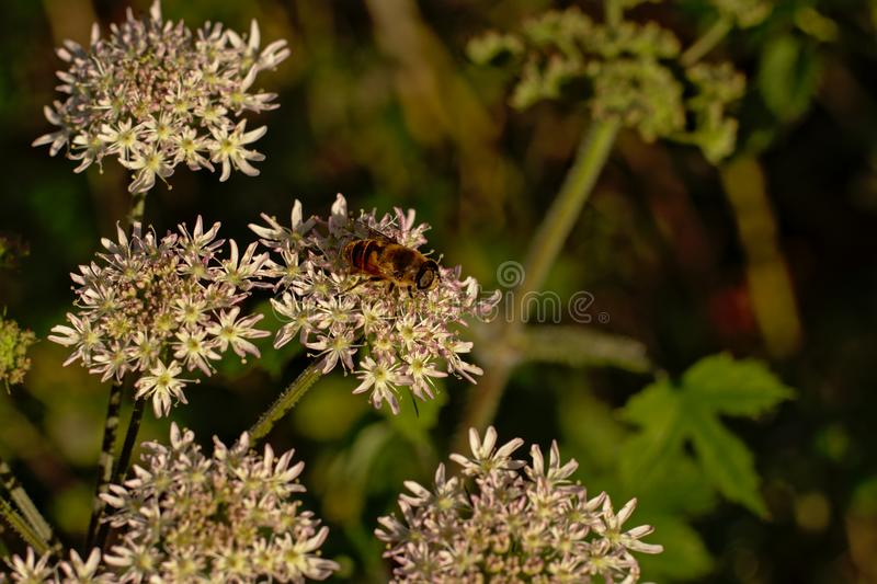 Bee sitting on a white hogweed flower, selective focus stock photos