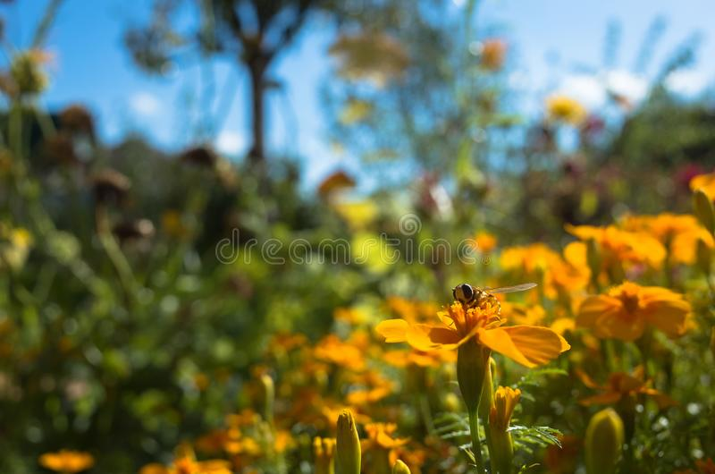 Bee is sitting on yellow flower. Sunny day. Blur background. Close up shot. royalty free stock images