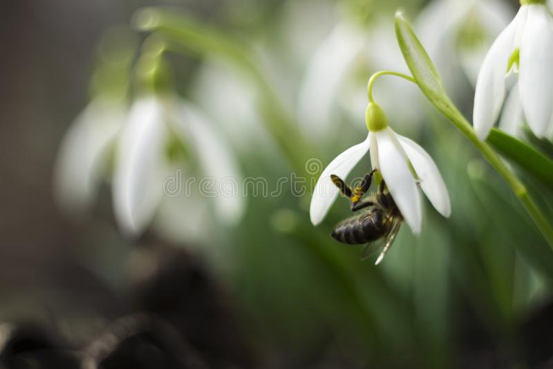 Bee in snowdrop - early spring close-up white flowers and feeding honeybee, macro stock photography