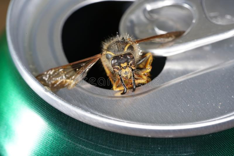 Bee in a soda can with macro shot photographed in best resolution. This is a bee in a soda can with macro shot photographed in best resolution royalty free stock photography