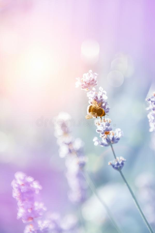 Bee on Spanish lavender on a Sunny day. Decorative summer plant background. Copy space royalty free stock image