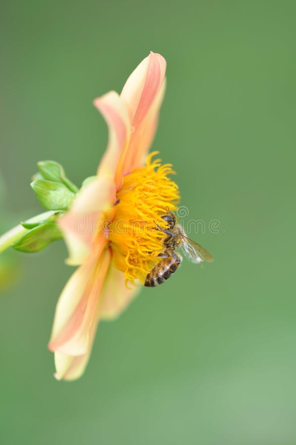 Bee and stamens. Close up of a hungry bee feasting with pollen stock photography