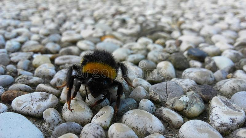 Bee. Standing on small riverstones royalty free stock photography